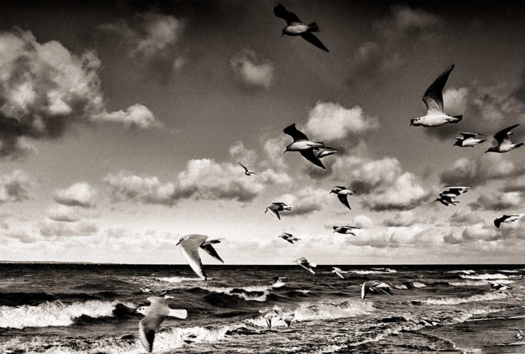 seagulls black and white